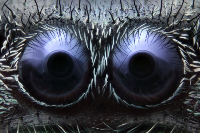 Jumping_Spider_Eyes-Nmacro